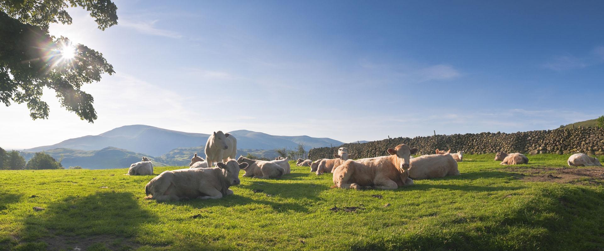 Kuhherde auf einem Feld
