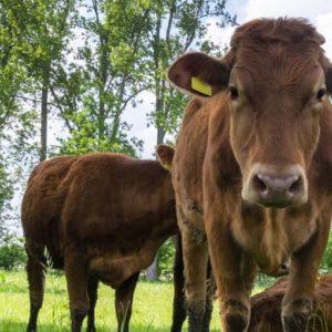 Gllückliche Kühe stehen für die Qualität von Colostrum